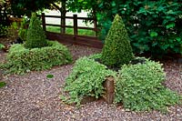 Conical Taxus - Yew - planted in square raised beds, with trailing hedera helix - Ivy. Designer Karen Tatlow's garden, Lichfield.