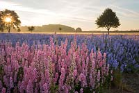 Delphinium fields at sunrise.