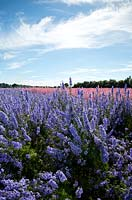 Field of blue and pink delphiniums at flower farm.