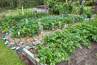 Vegetable and fruit garden beds including raised rows of Potato 'Sante', 