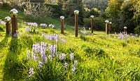 View of sloping meadow with Camassia subsp. leichtlinii in foreground and