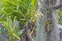 Brassia maculata syn. Brassia guttata, Spotted Brassia, Spider Orchid in outdoor orchid bed.