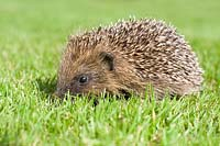 Erinaceus uropaeus - Young 'Hedgehog' on lawn