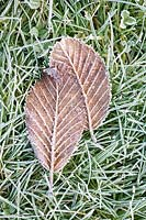 Frosted leaves on garden lawn.