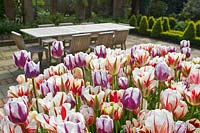 Tulipa - Old fashioned broken tulips with view to wooden garden table and chairs.