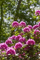 Rhododendrons flowering in a woodland garden