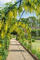 Laburnum anagyroides growing over arhcway