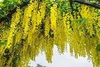 Laburnum anagyroides growing over archway