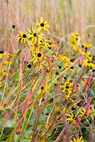 Rudbeckia fulgida var. deamii with persicaria and grasses.