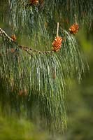 Pinus patula - Mexican Yellow Pine