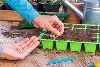 Woman using finger to make holes in tray cells for Calendula seeds.
