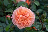 Rosa Louise Clements 'Clelou' - Rose 'Louise Clements'