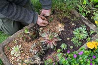 Gardener topdressing stone trough planted with alpines with grit.