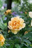 Rosa 'Golden celebration' - English Rose 'Golden celebration'