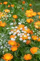 Calendula officinalis and Ammi majus - Common marigold and Bishop's flower