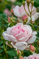 Rosa Scepter'd Isle 'Ausland' - Rose Scepter'd Isle