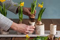 Woman creating seasonal floral table arrangement, using flowering Narcissus - Daffodils and birch branch vases.
