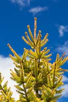 Picea abies 'Aurea Magnifica' - Golden Norway Spruce