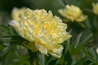 Paeonia Intersectional 'Bartzella' - Itoh Hybrid Peony collection