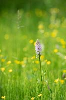 Dactylorhiza fuchsii - Common spotted orchid in a wildflower meadow