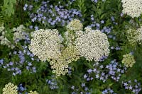 Cenolophium denudatum and Amsonia orientalis - Baltic parsley and Eastern blue star