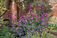 Lunaria annua 'Chedglow' - Honesty