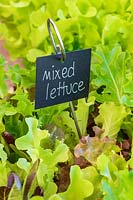 Labeled Lettuce Leaf mix growing in a container