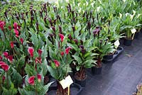Zantedeschia ready for the Chelsea RHS Flower Show at 'Brighter Blooms'  Nursery, Preston, Lancashire