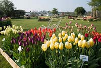 Tulipa display at 'Brighter Blooms' Nursery, Preston, Lancashire