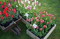 Mixed Tulipa display at 'Brighter Blooms' Nursery, Preston, Lancashire