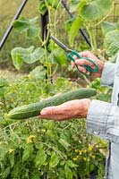 Woman holding newly harvested Cucumber 'Burpless Tasty Green'.