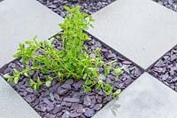 Marjoram - Oreganum in checkerboard square with slate mulch
