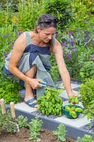 Woman picking herbs in checkerboard herb garden