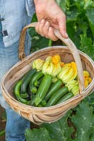 Woman carrying newly harvested Courgette Zucchinis in trug