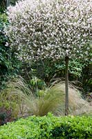 Salix integra topiary standard, underplanted with Stipa tenuissima and Buxus - Box.