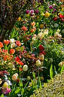 Mixed flowering tulips in border at Abbey House Gardens, Malmesbury, UK.