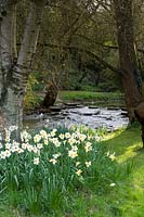 Flowering Narcissi and trees growing on bank of river. Abbey House Gardens, Malmesbury, UK.