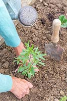 Woman firming soil around newly planted Summer Savory plant.