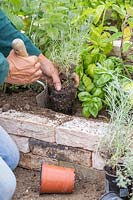 Woman planting Helichrysum italicum - Curry plant in raised bed using a hand trowel.