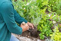 Woman planting Curry plant in raised bed using a hand trowel.