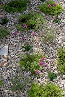 Gravel garden with Armeria maritima - Sea Thrift and herbs including Thymus 'Silver Posie' and Chamomile, growing amongst the cotswold chippings.