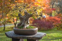 Acer Buergerianum Bonsai tree in container