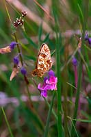 Boloria selene feeding on Common Vetch - Vicia sativa