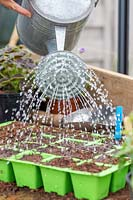 Watering the newly sown Lathyrus - Sweetpea 'Nimbus' seeds in seedtray