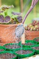 Woman watering newly sown sunflower seeds in pots with watering can.