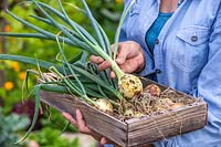 Woman holding wooden box with harvested Allium cepa 'Centurion' - Onion 'Centurion'.