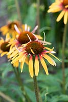 Echinacea 'Funky Yellow' - Coneflower 'Funky Yellow'