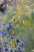 Eryngium x tripartitum - Tripartite Eryngo and Stipa gigantea - Golden Oats Grass