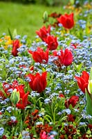 Red Tulipa - Tulips and Myosotis - Forget-me-not in border.