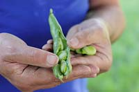 Vicia faba 'The Sutton' - Shelling freshly picked, organic broad beans.